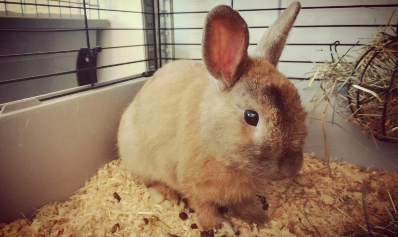 Des nouvelles du lapin d'Horbourg